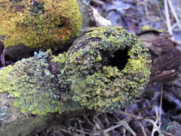 Lichen-covered branch