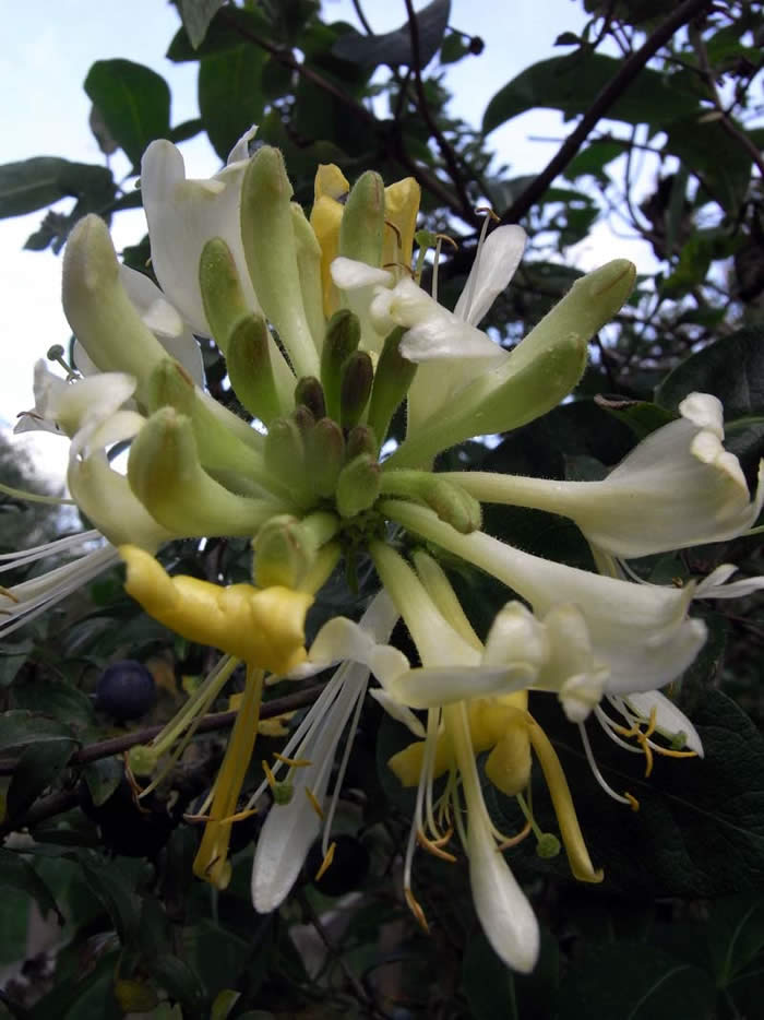 Honeysuckle in flower