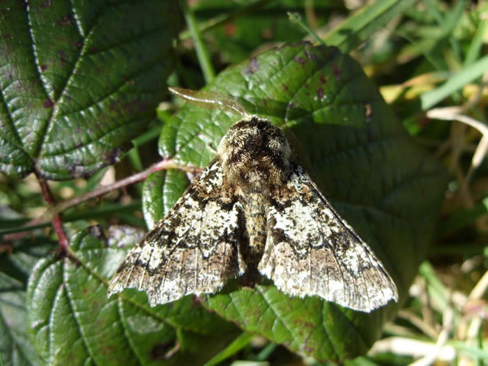 Oak Beauty moth