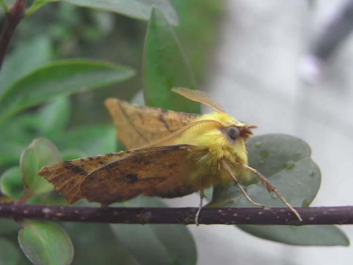 Canary-shouldered Thorns moth