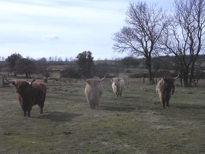 Cattle in the middle field