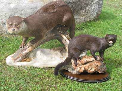 Taxidermy otter and mink