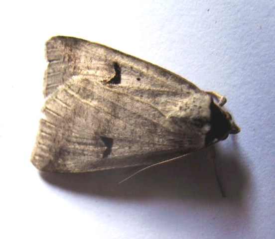 Blackneck moth