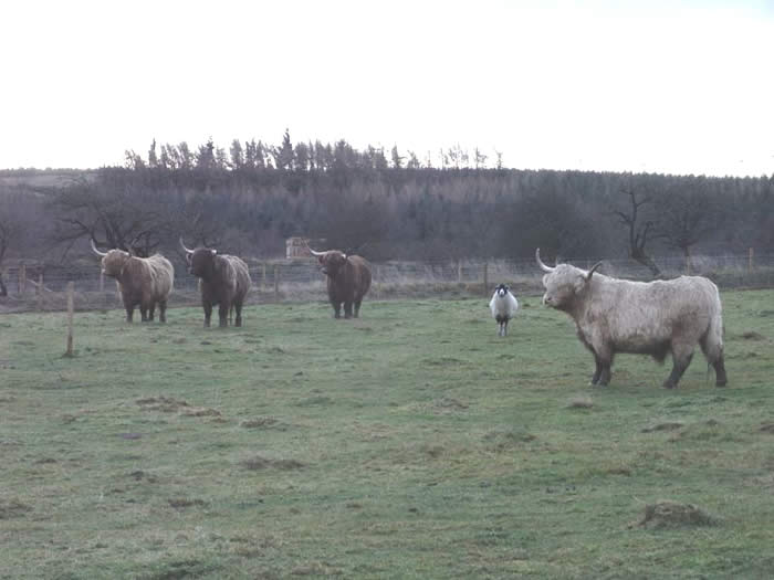 Hector joining his cattle companions