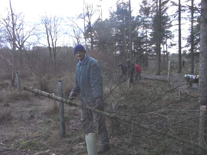 John taking young spruce trees down with a bow saw