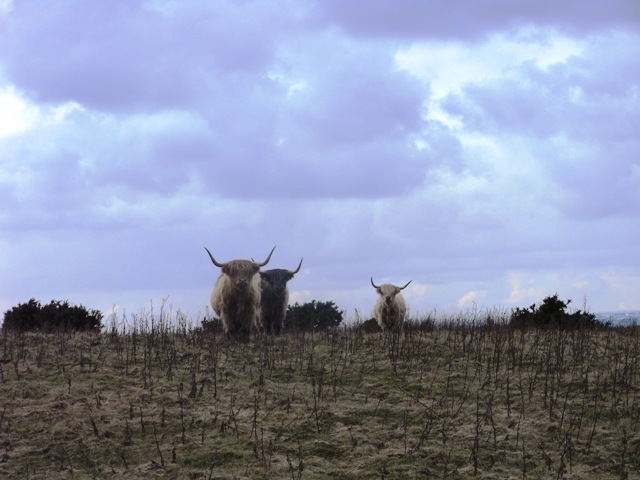 Cattle on the reserve