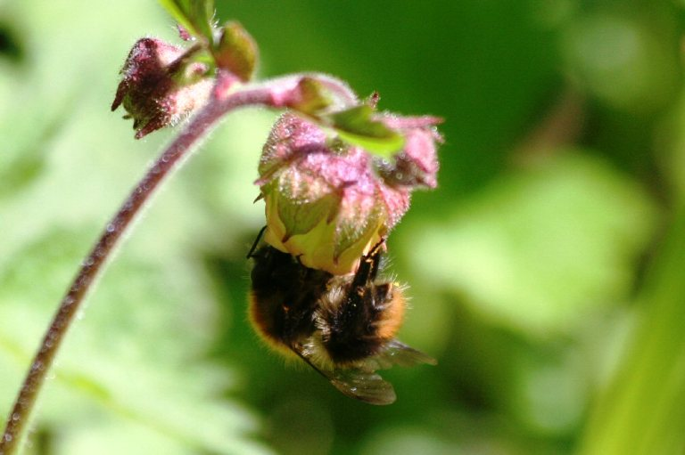 Bumblebee on Water Avens