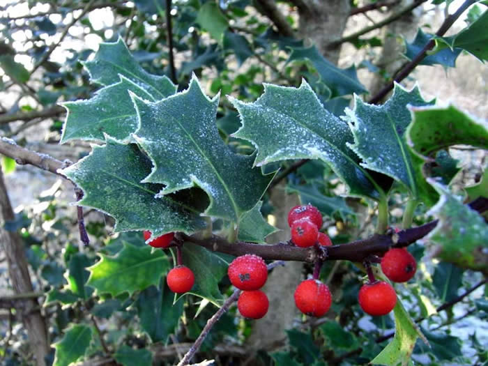 Frost covered Holly