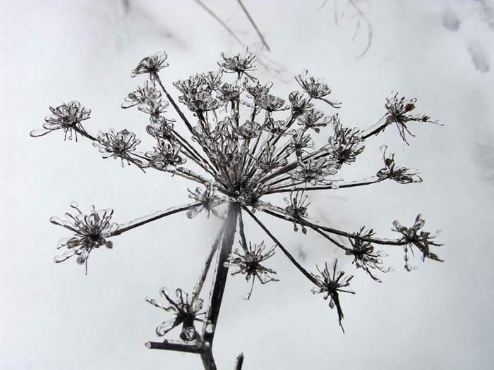 Snow covered seed head