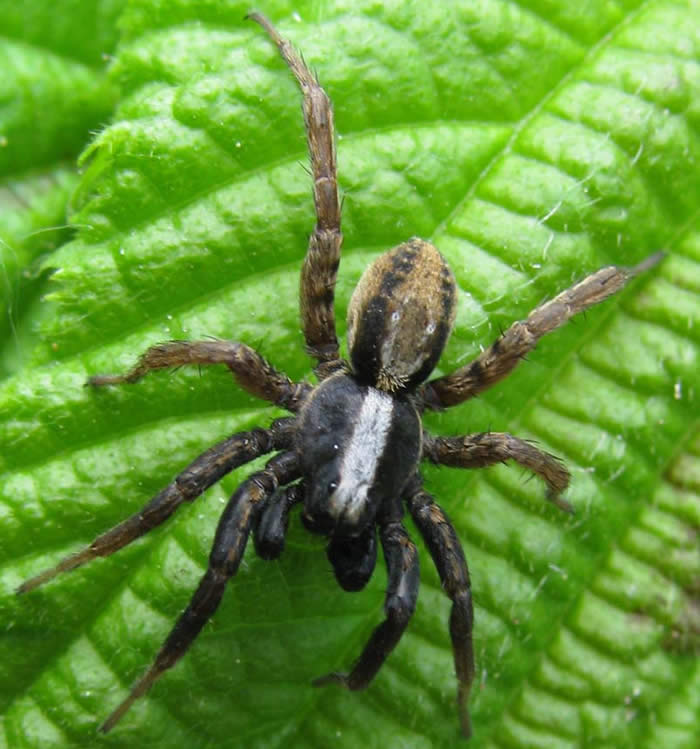 Male hunting spider