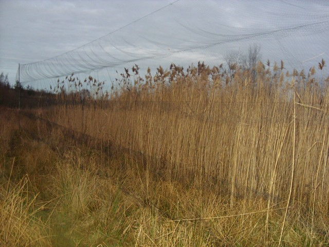 Mist nests in the reed bed