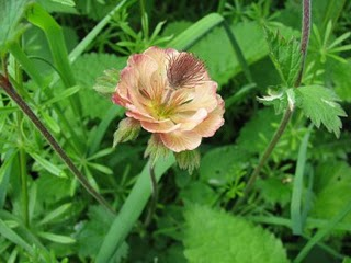 A hybrid between Wood and Water Avens