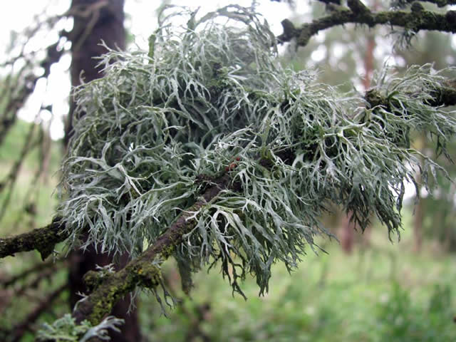 Larch Branch