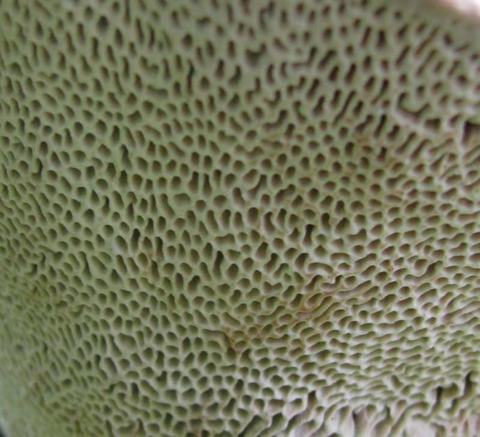 Common puffball fungus
