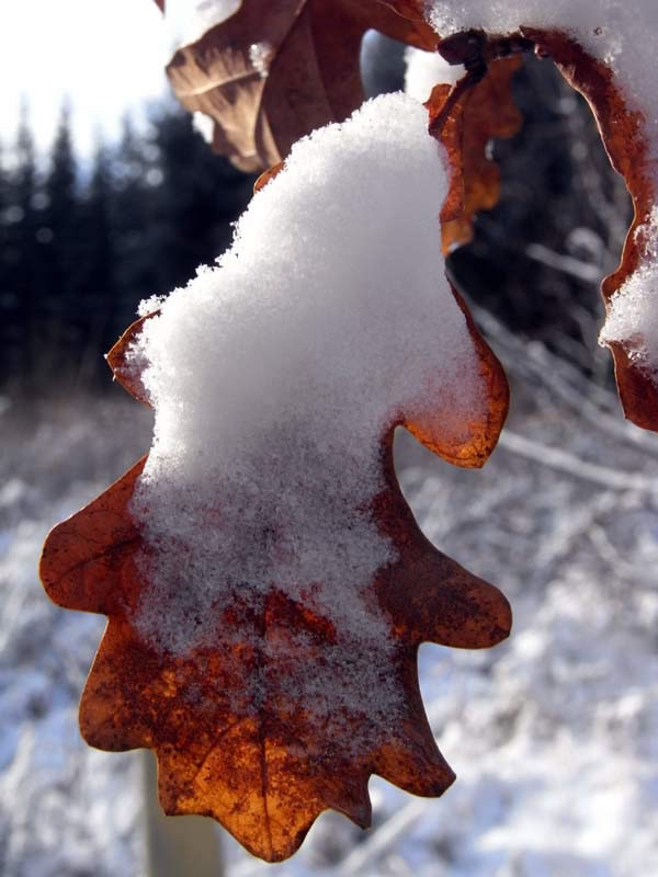 Snow on an oak leaf
