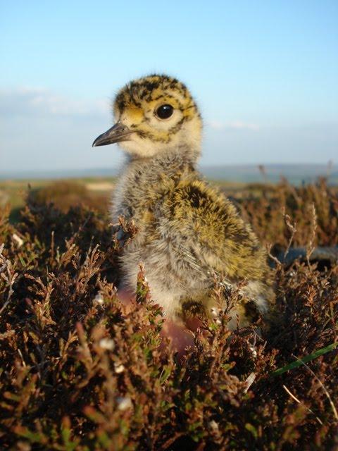 Golden Plover chick