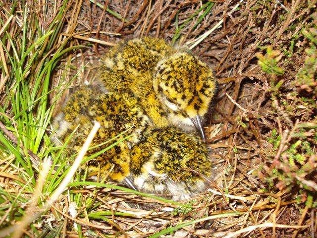 Golden Plover chicks