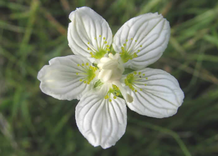 Grass of Parnassus in flower