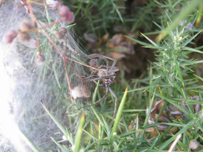 Big wolf or nursery web spider