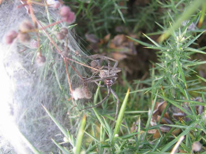 Big wolf or nursery web spider