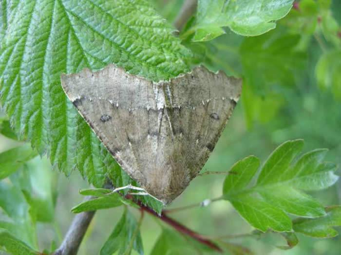 Scalloped Hazel moth