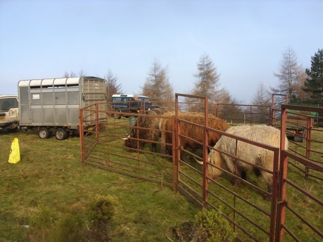 Cattle being loaded into the trailer
