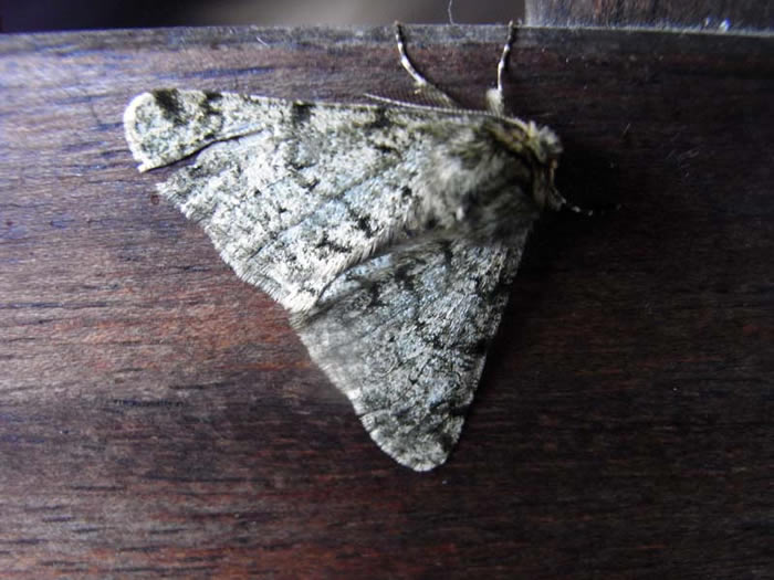 Pale Brindled Beauty moth