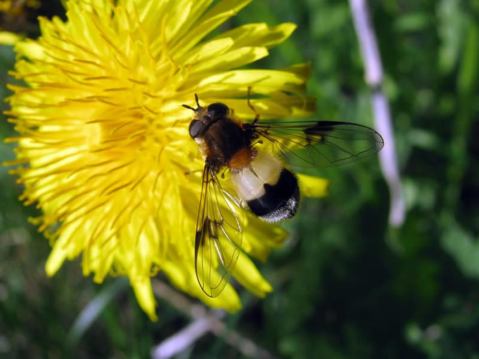 Insect feeding on the dandelion nectar