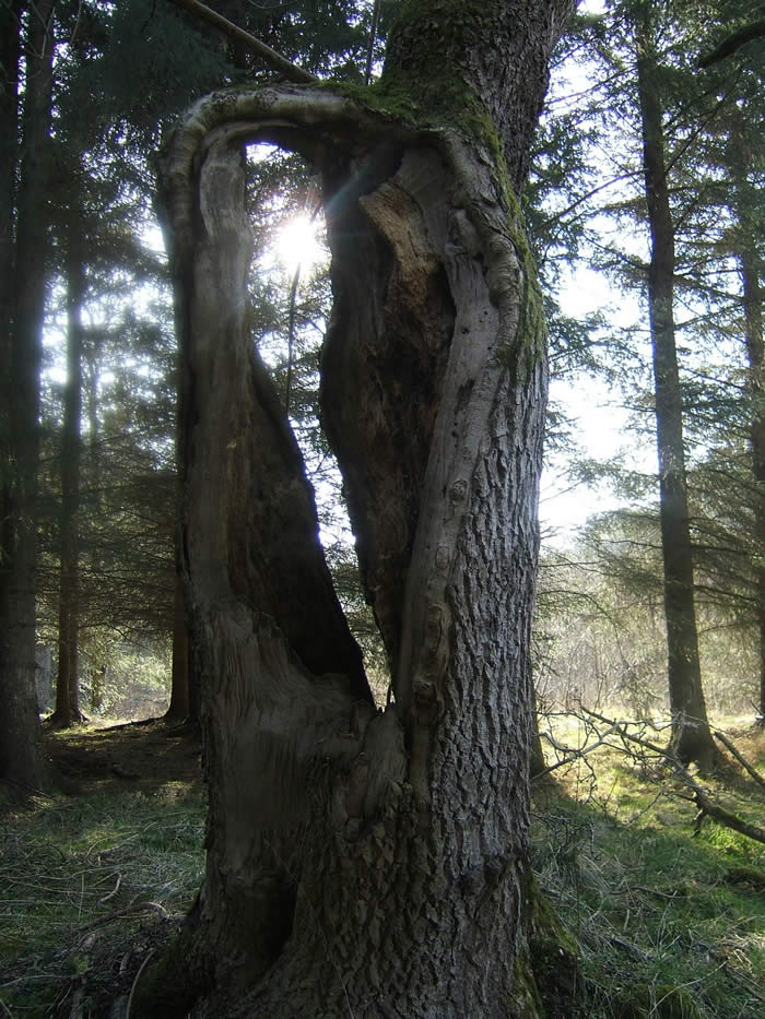 A hollow ash tree above