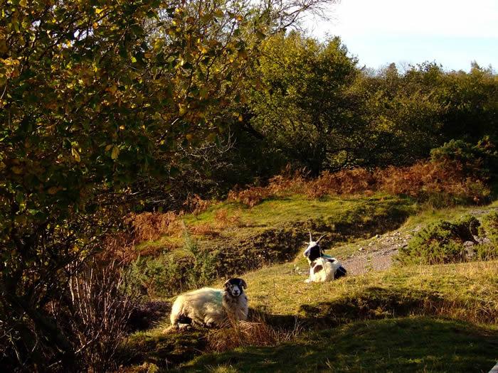 Sheep on the wetland