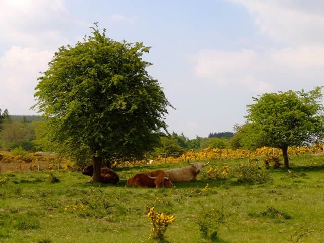 Cattle laying in the grass
