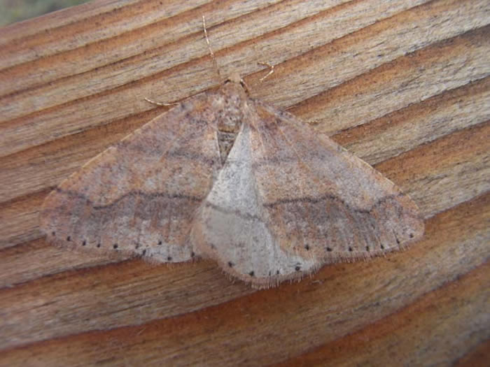 Dotted Border moth