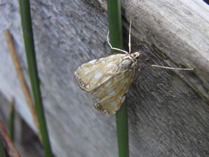 Brown China-mark moth