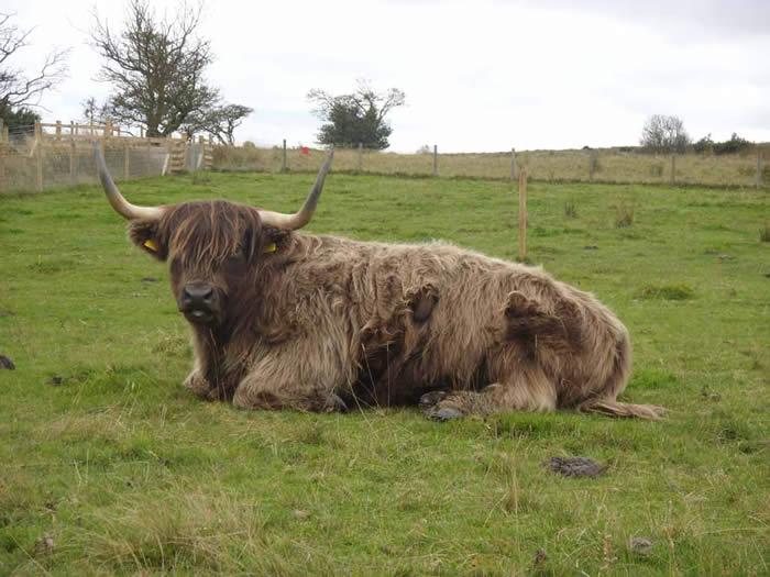 Foxglove cattle