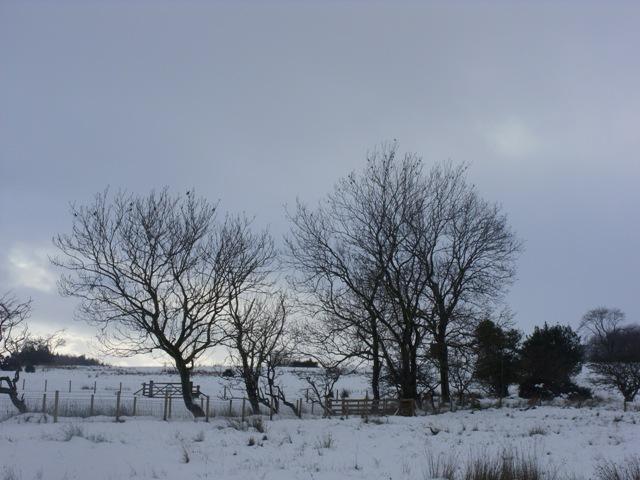 Fieldfare on the moor