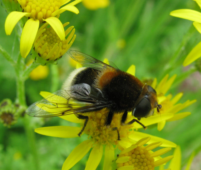Insect on Ragwort Flower