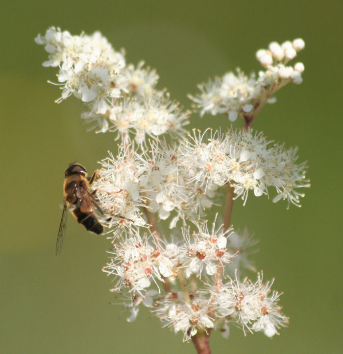 Meadowsweet with hive bee