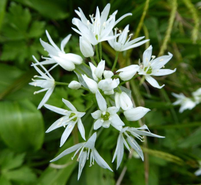 Wild Garlic or Ramsons
