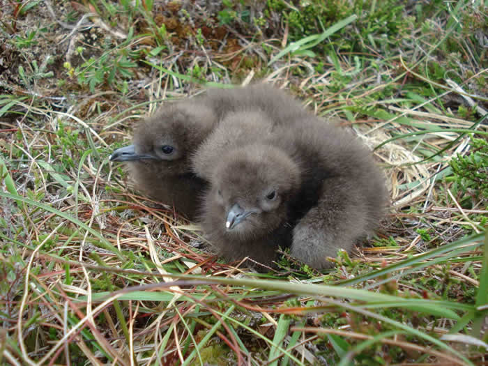 Arctic Skua chicks