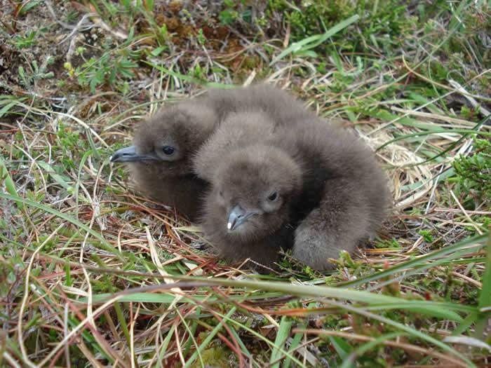 Arctic Skua chicks