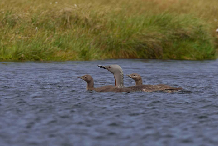 Red-throated Diver chicks
