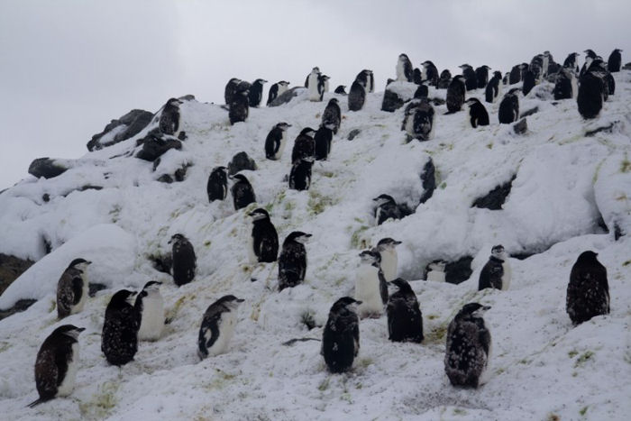 Moulting Chinstrap Penguins