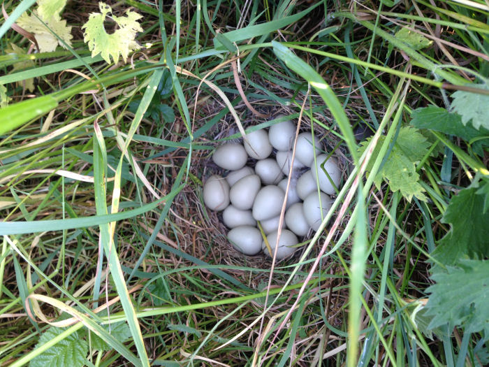 Grey Partridge nest