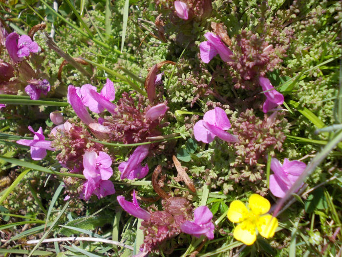 Lousewort and Tormentil