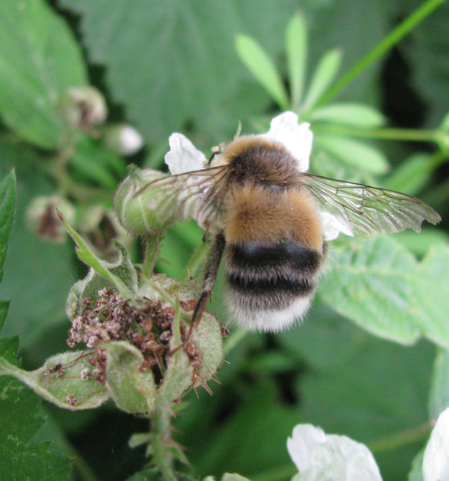 Bee on Blackberry flower.
