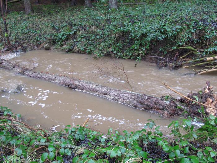 Fallen Alder tree in the beck