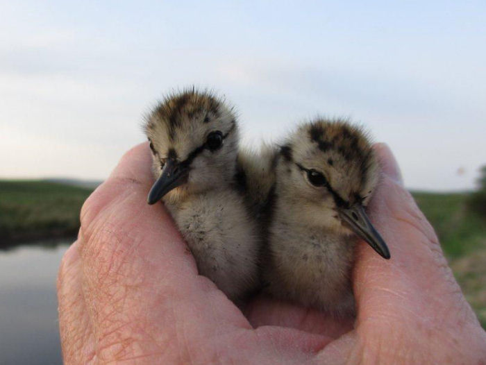 Redshank chicks