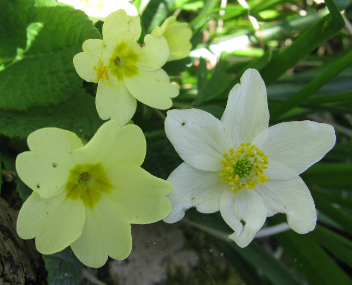 Primrose and Wood Anemone