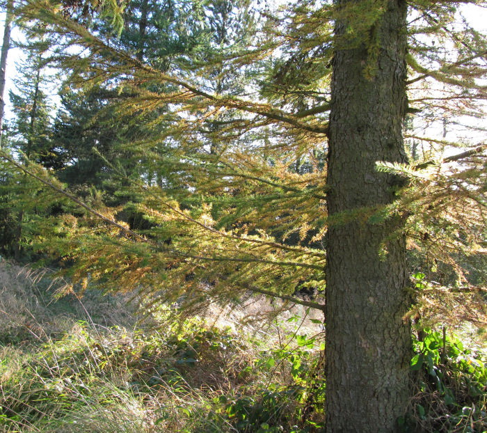Autumn colours on the larch