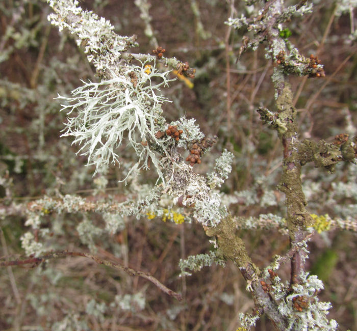 Blackthorn flower buds in amongst the lichens